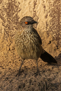 Arrow-marked babbler (Turdoides jardineii)