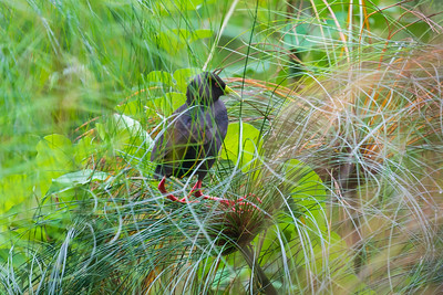 Black crake (Amaurornis flavirostra)