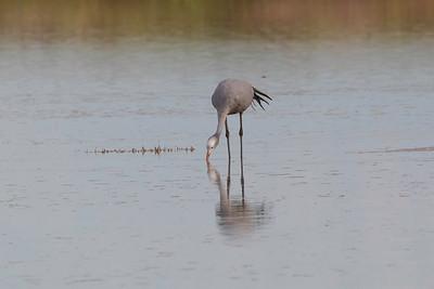 Blue crane (Grus paradisea)