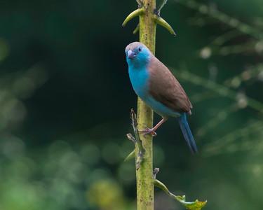 Blue waxbill (Uraeginthus angolensis)