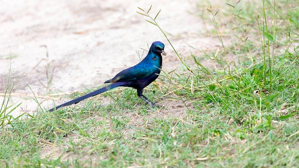 Burchell's starling (Lamprotornis australis)