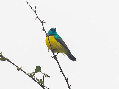 Collared sunbird, (Hedydipna collaris)