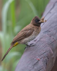 Common bulbul (Pycnonotus barbatus)
