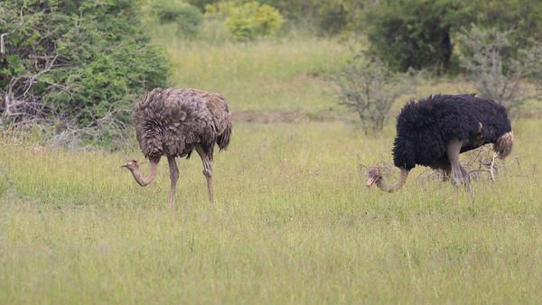 Common ostrich (Struthio camelus)