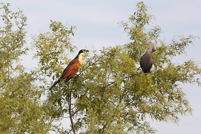 Coppery-tailed Coucal and Grey go-away-bird