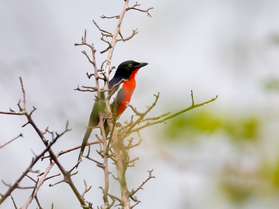 Crimson-breasted shrike (Lanarius atrococcineus)