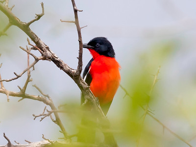 Crimson-breasted shrike (Lanarius atrococcineus)