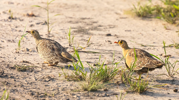 double-banded sandgrouse (Pterocles bicinctus)