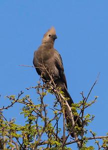 grey lourie (Corythaixoides concolor), also known as go-away bird