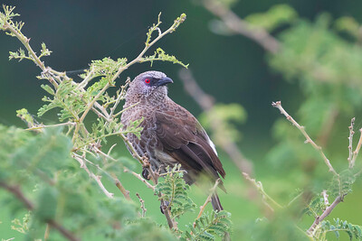 Hartlaub's babbler (Turdoides hartlaubii)