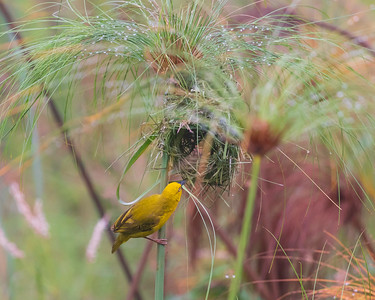 Holub's golden weaver (Ploceus xanthops)