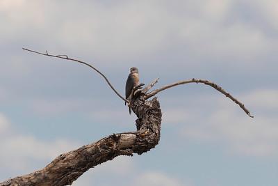 Little sparrowhawk (Accipiter minullus)