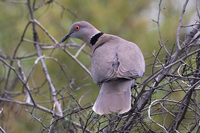 Mourning collared dove, or African mourning dove (Streptopelia decipiens)
