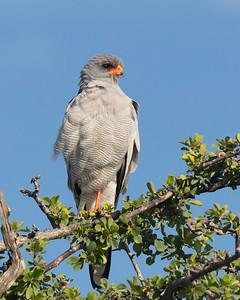 Pale Chanting-goshawk (Melierax canorus)