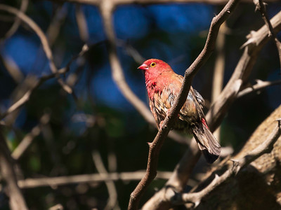 Red-billed Firefinch (Lagonosticta senegala)