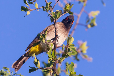 African red-eyed bulbul or black-fronted bulbul (Pycnonotus nigricans)