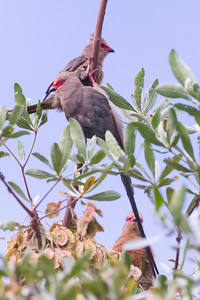 Red-faced mousebird (Urocolius indicus)