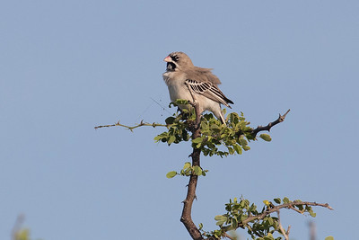 scaly-feathered weaver (Sporopipes squamifrons)