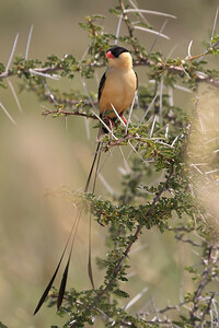 Shaft-tailed Whydah (Vidua regia)