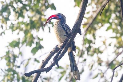 Southern red-billed hornbill (Tockus rufirostris)