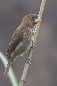 Thick-billed Weaver (Amblyospiza albifrons)