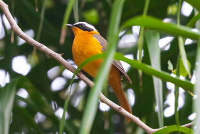 White-browed Robin-chat (Cossypha heuglini)