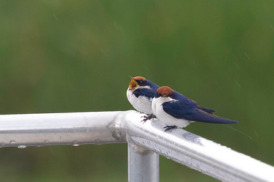Wire-tailed Swallow (Hirundo smithii)
