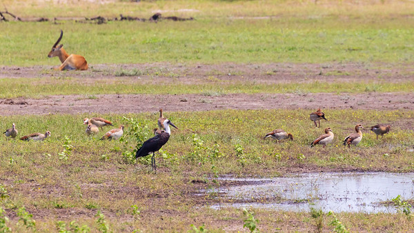 Woolly-necked stork or whitenecked stork (Ciconia episcopus)