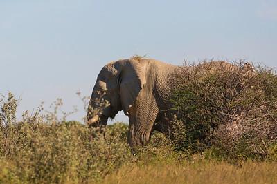 African elephant (Loxodonta)