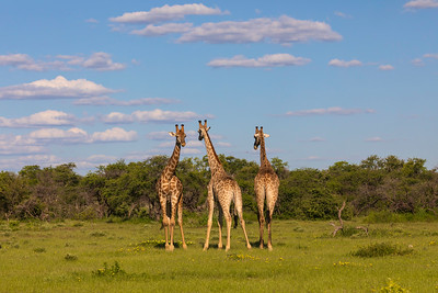 Angolan giraffe (Giraffa camelopardalis angolensis)
