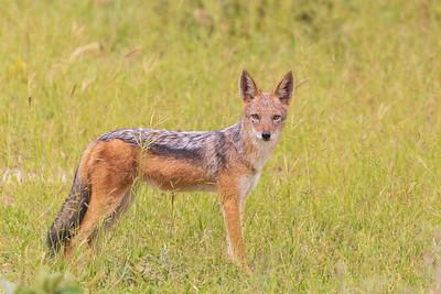 Black-backed jackal (Canis mesomelas or Lupulella mesomelas)