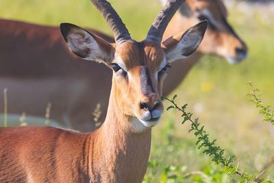 Black-faced Impala (Aepyceros melampus ssp. petersi)