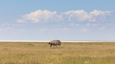 Blue wildebeest (Connochaetes taurinus)