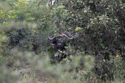 Cape buffalo, (Syncerus caffer caffer)