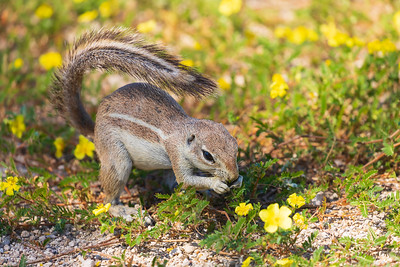 Cape ground squirrel or South African ground squirrel (Xerus inauris)