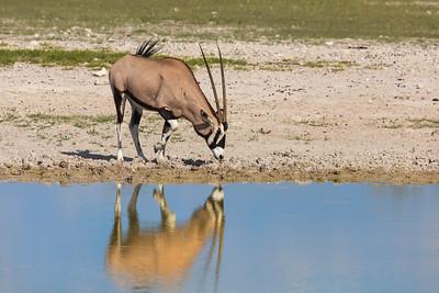 Gemsbuck or South African oryx (Oryx gazella)