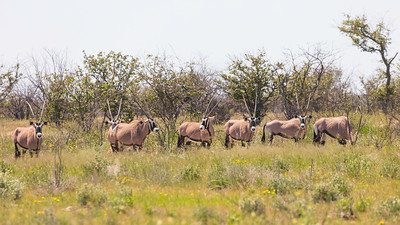 Gemsbuck or South African oryx (Oryx gazella)