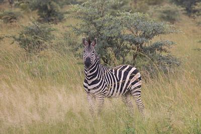 Hartmann's mountain zebra (Equus zebra hartmannae)
