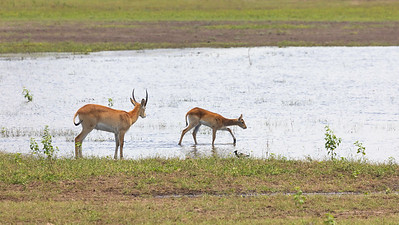Red Lechwe, or Southern Lechwe, [Kobus leche leche]