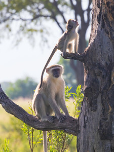 Vervet monkey (Chlorocebus pygerythrus)