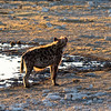 Spotted Hyena at sunrise