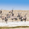Bachelor group of Oryx