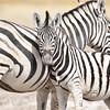 Flirty zebra