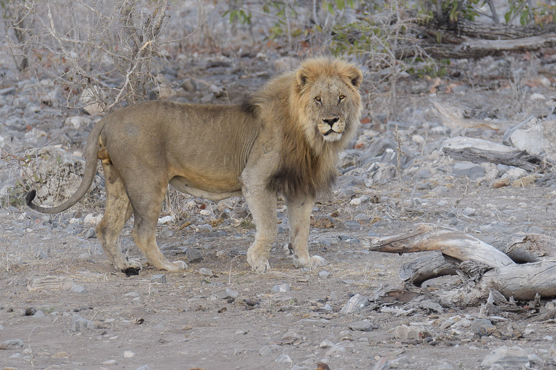 Lion looking after his lioness