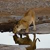 Lioness by a waterhole in Etosha