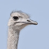 Bright ostrich