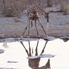 Giraffe drinking from waterhole