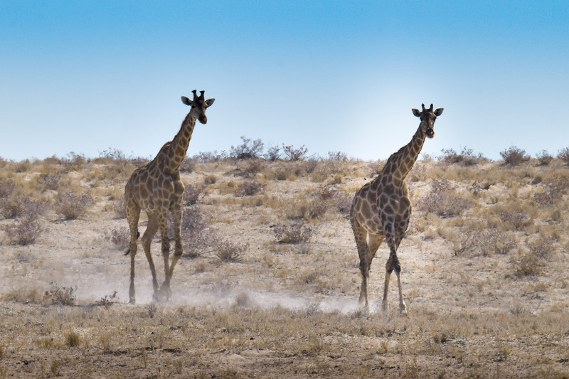 Giraffes walking in a dust