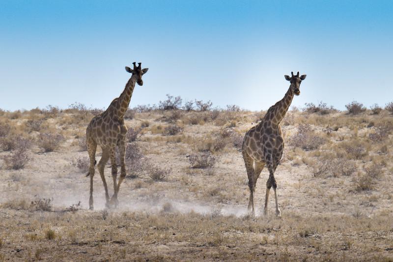 Giraffes walking in a dust