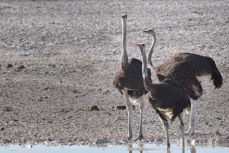 Ostrich triangle